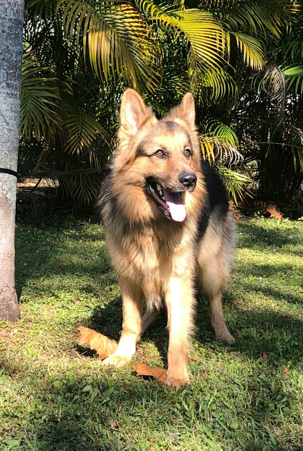 Blue Amp Panda German Shepherds For Sale In Florida Ruskin