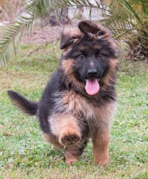 German Shepherd Breeders Florida